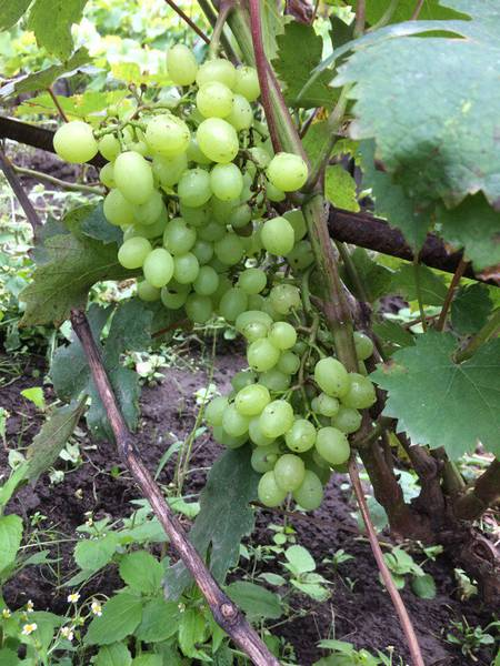 виноградник Гордеева