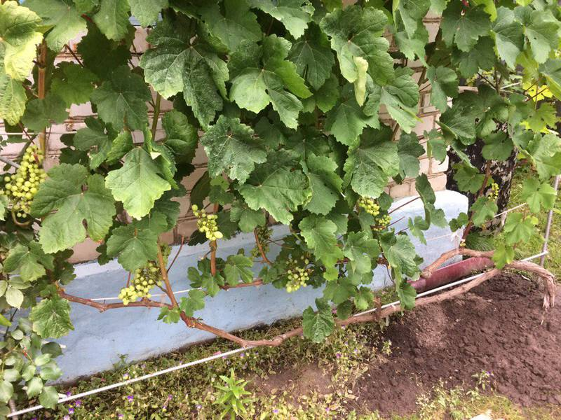 Виноградник Тимакова