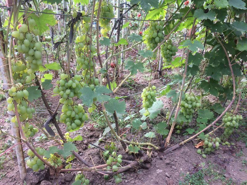 Галбена ноу виноград