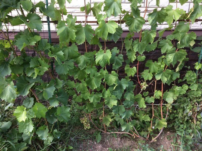 виноградник Сергея Arsenal