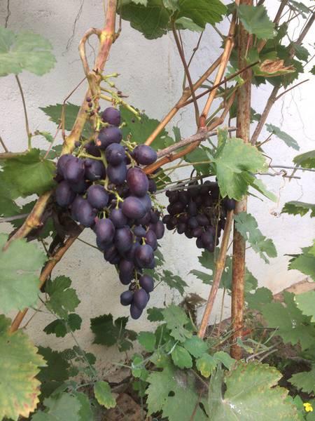 Краса Никополя виноград