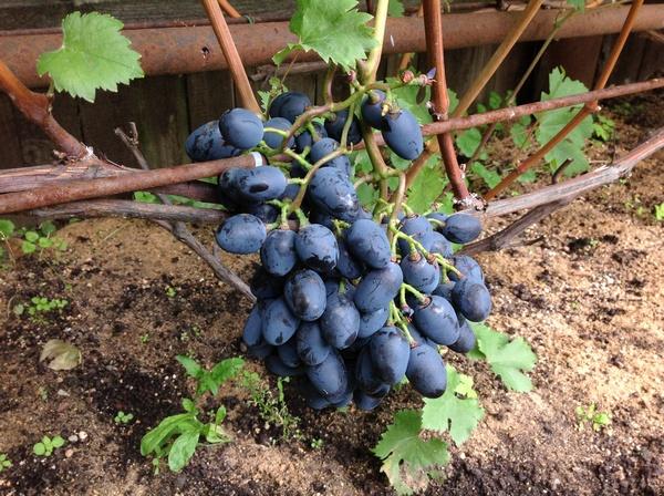 виноградник Волкова