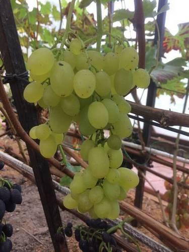 Виноградник Григория Адамия