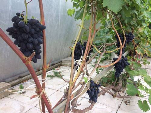 Виноградник Андреева