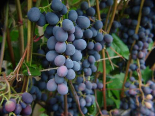 Виноградник Сопина