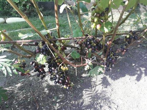 Ростовский виноградарь