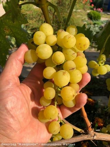 Виноград Жаворонок