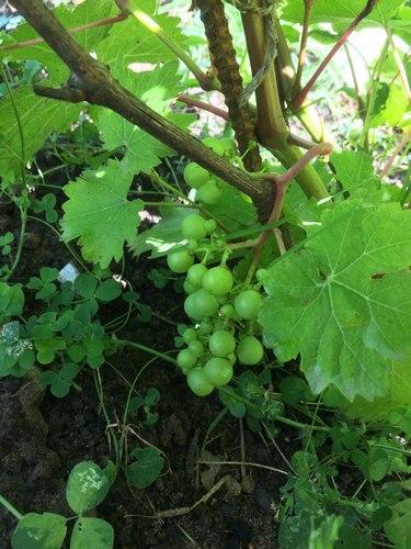 Виноград Циравас аграа