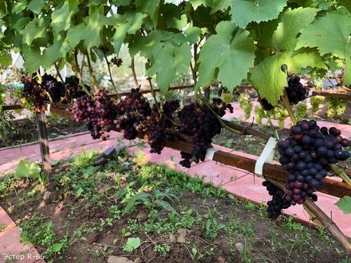 Виноград Эстер R-65