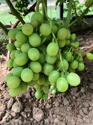 Сигналка винограда Ливия