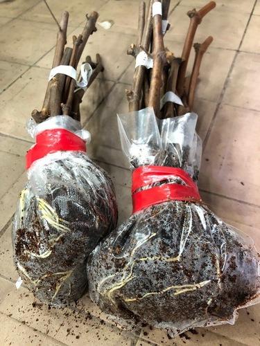 Укоренение черенков винограда в кокосе