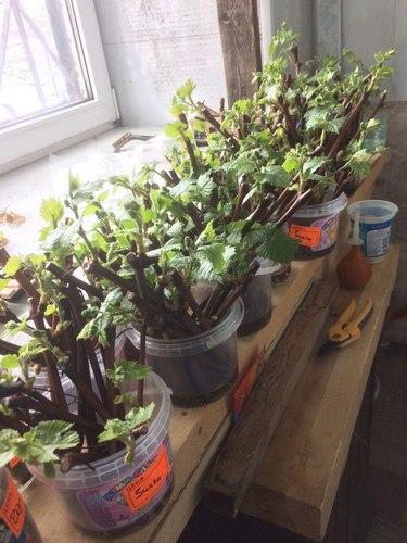 Укоренение черенков винограда на воде по Радчевскому