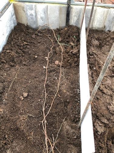 Саженец винограда Валёк после пересадки весна 2019